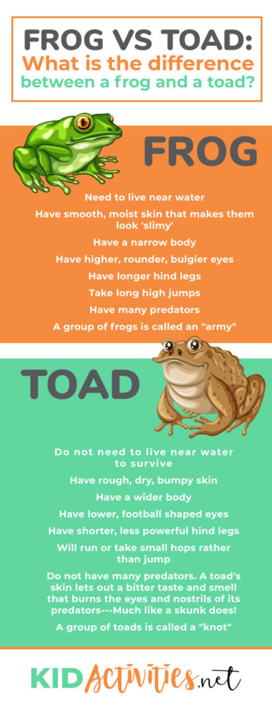 Frog vs Toad: What is the difference between a frog and a toad? Find the main differences that separate a frog and a toad.