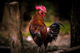 Chicken themed activities