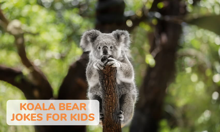 A collection of funny koala bear jokes for kids.