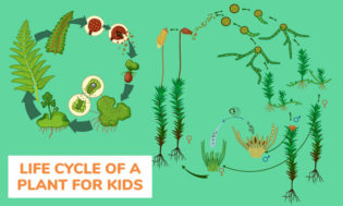 The life cycle of a plant. A great lesson plan for kids and teaching about the cycle of life.