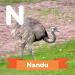 A description of the animal Nandu.