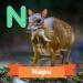 A description of the animal Napu.