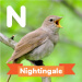 A description of the nightingale.