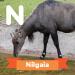 A description of the animal nilgai.