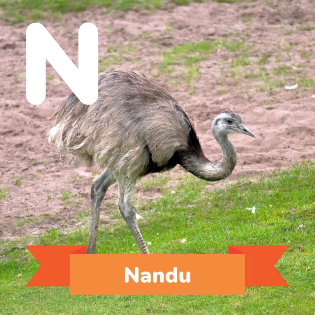 A picture of the Nandu.