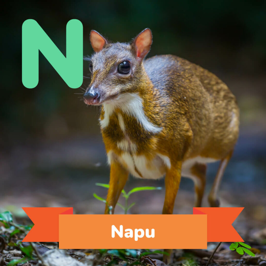 A picture of the Napu.
