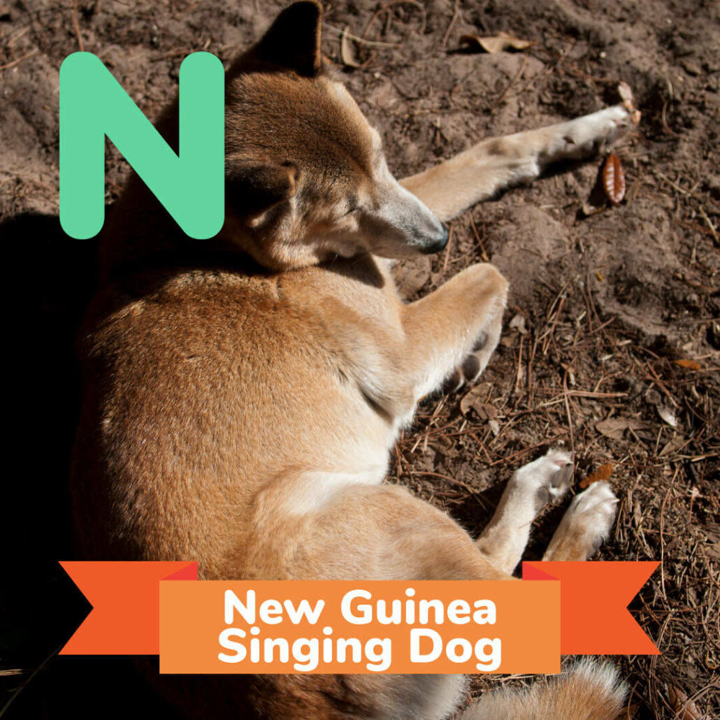 A picture of the New Guinea Singing Dog.