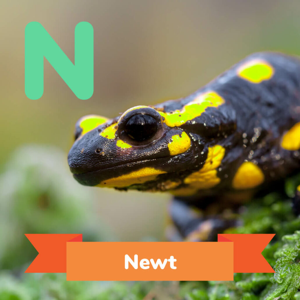 A picture of the Newt.