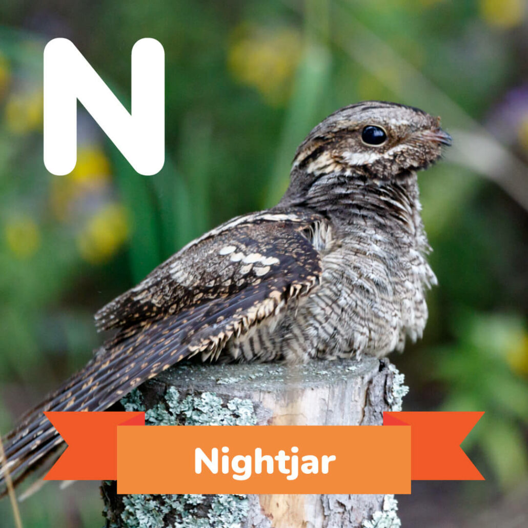 A picture of the Nightjar.