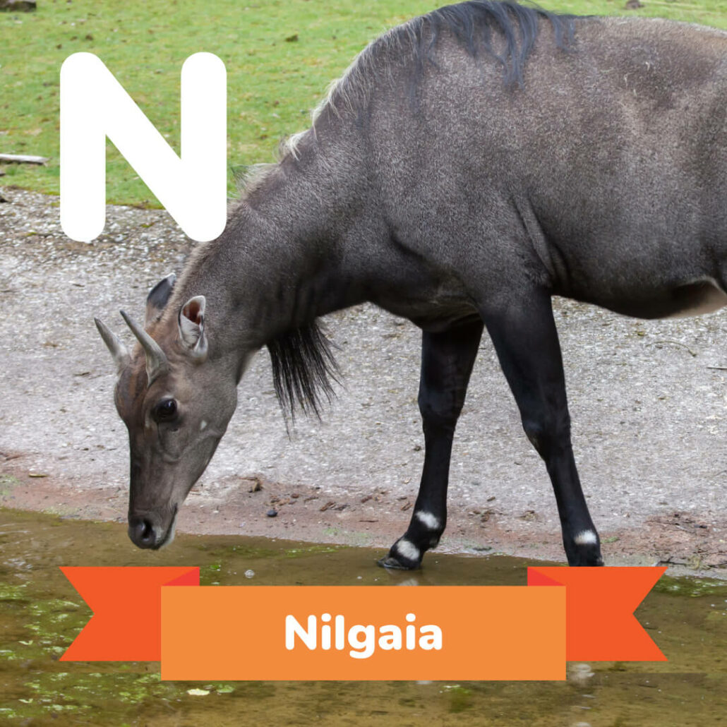 A picture of the Nilgaia.