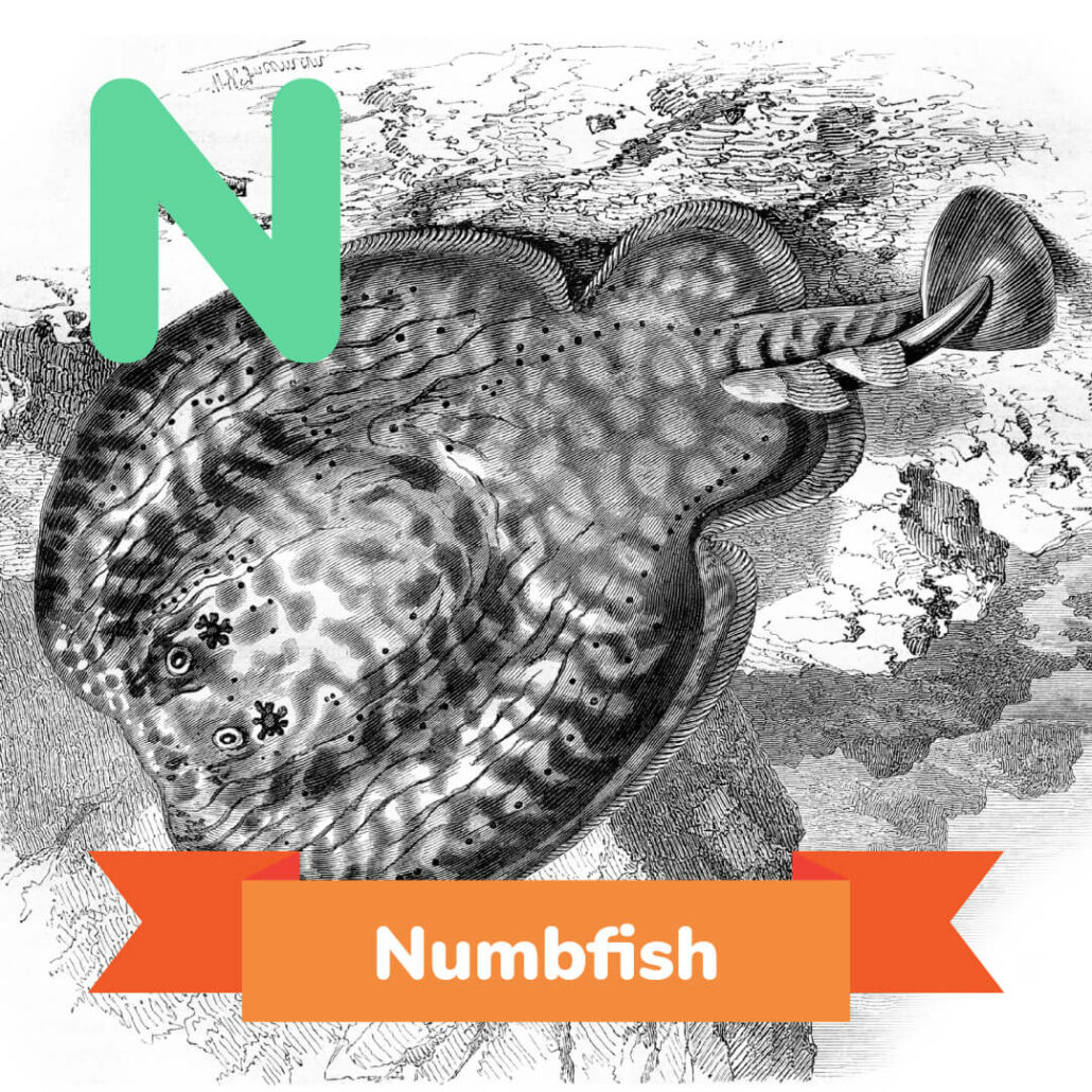 A picture of the numbfish.