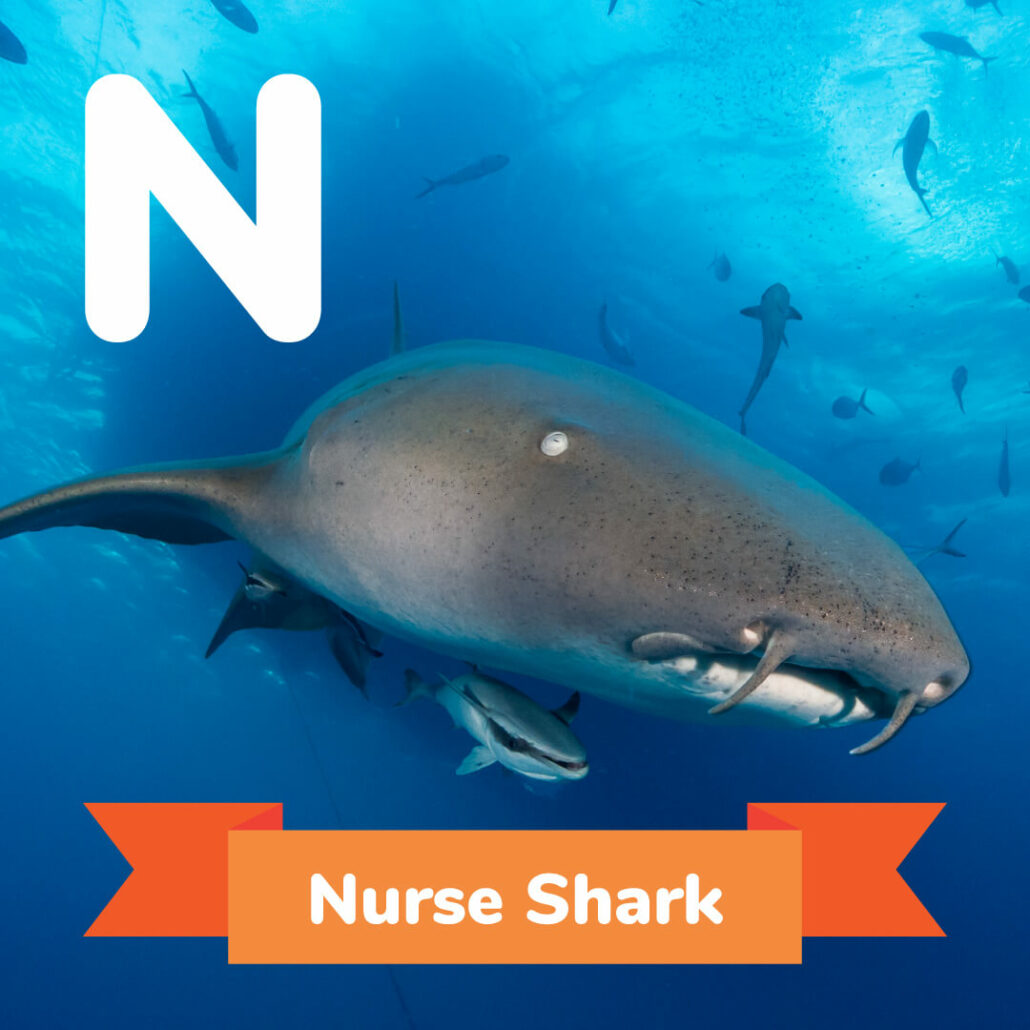 A picture of the nurse shark.