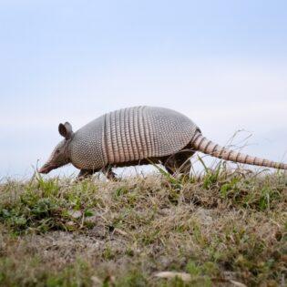 armadillo in the desert