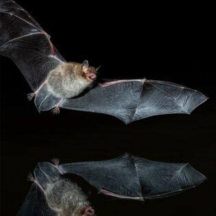 A bat flying in the desert night.