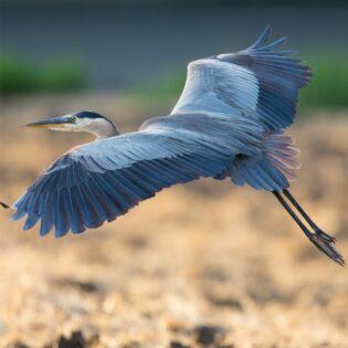 A blue heron in the desert