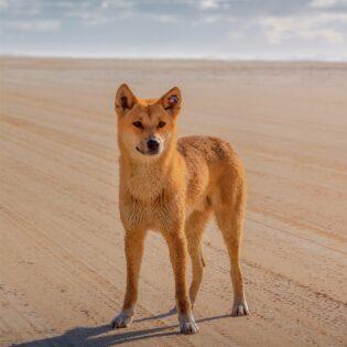 A dingo in the desert