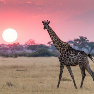 A giraffe in the desert.