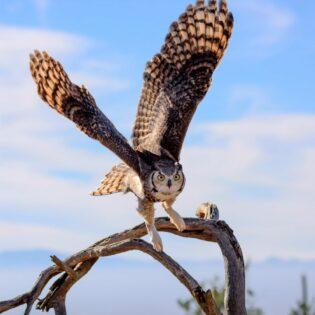 A great horned owl in the desert