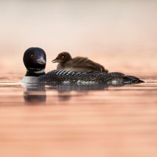 A loon in the water