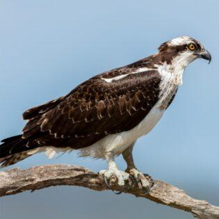 An osprey on a branch