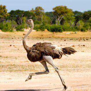 An ostrich running in the desert