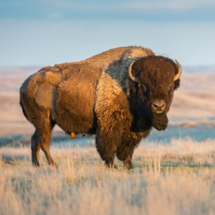 A plains bison in the desert