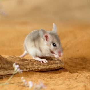 A spiny mouse in the desert.