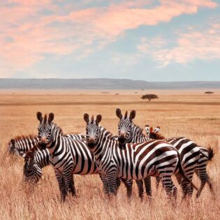Some zebras in the desert
